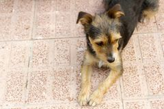 Смешная чернота, белизна и чело собаки щенка Стоковое фото RF