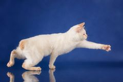 Смешная шаловливая синь наблюдала кот зацеплять Меконга породы Bobtail голубая предпосылка студии Стоковая Фотография RF