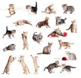 Смешное великобританское собрание котят стоковая фотография