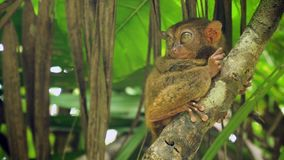 Смешное филиппинское более tarsier syrichta Tarsius Bohol Филиппины Стоковое Фото
