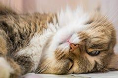Смешное cat& x27 спать; фото крупного плана стороны s Стоковое Изображение