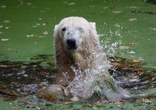 смешное icebear Стоковое Изображение RF