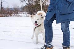 Смешное inu akita японца собаки в зиме в лесе рядом с его предпринимателем Стоковые Фотографии RF