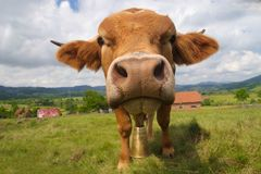 Смешной бык стороны Стоковые Фото