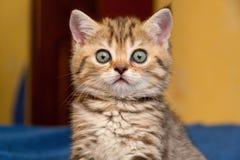 Смешной великобританский котенок смотрит в сюрпризе на камере, портрете великобританского конца-вверх котенка стоковые изображения