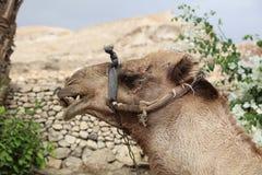 Смешной верблюд дромадера в Иерихоне Стоковая Фотография