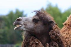 Смешной верблюд Стоковые Фото
