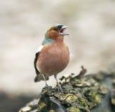 смешной зяблик птицы в парке на дереве и поет Стоковое фото RF