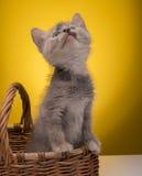 смешной изолированный котенок немногая белое Стоковая Фотография