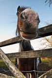 Смешной конец-вверх лошади Стоковые Изображения