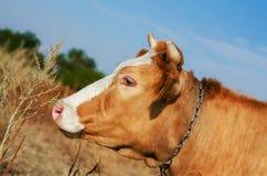 Смешной конец коровы вверх в ферме Стоковая Фотография RF