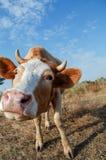 Смешной конец коровы вверх в ферме Стоковая Фотография