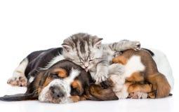 Смешной котенок лежа на гончей выхода пластов щенят и лижет их Стоковые Фотографии RF
