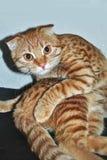 Смешной кот имбиря в представлении йоги стоковые изображения rf