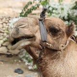 Смешной крупный план верблюда дромадера Стоковые Фото