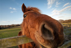 Смешной крупный план лошади Стоковое Изображение