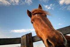 Смешной крупный план лошади Стоковые Изображения RF