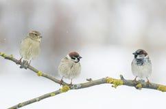 Смешной маленький воробей 3 сидя на ветви в парке d зимы Стоковое Изображение