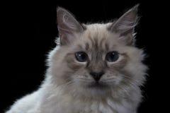 смешной маленький голубоглазый белый изолированный кот, Стоковое Фото