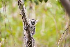 Смешной милый лемур младенца на ветви дерева Стоковые Фотографии RF