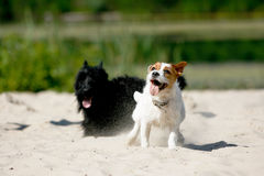 Смешной милый играть собак Стоковая Фотография