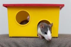 Смешной молодой белый и серый прирученный любопытный младенец хомяка мыши с сияющими глазами смотря из яркого желтого окна клетки стоковое изображение rf
