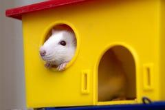 Смешной молодой белый и серый прирученный любопытный младенец хомяка мыши с сияющими глазами смотря из яркого желтого окна клетки стоковые фото