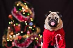 Смешной мопс рождества в костюме Санта Клауса с тросточкой конфеты около рождественской елки стоковое фото