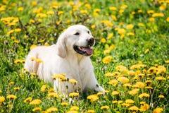 Смешной молодой счастливый Retriever Лабрадора сидя в траве и в желтом цвете Стоковые Фотографии RF