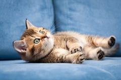 Смешной оранжевый великобританский котенок лежит на своей стороне на голубой софе стоковое изображение