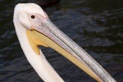 Смешной пеликан Стоковое Изображение RF