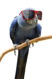 Смешной попугай битника нося холодные красные солнечные очки Стоковое Фото