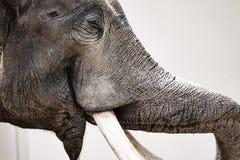 Смешной портрет азиатского слона Стоковые Фотографии RF