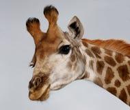 Смешной портрет жирафа стоковое изображение rf