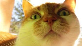 Смешной портрет красного кота стоковые изображения