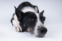 Смешной портрет крупного плана собаки Стоковое Фото