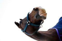 смешной портрет лошади Стоковое Изображение