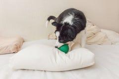 Смешной портрет милой Коллиы границы собаки щенка кладет на одеяло подушки в кровати и игру с зеленым шариком игрушки стоковое фото rf