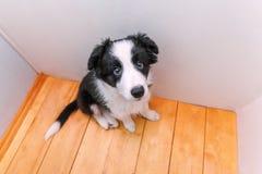 Смешной портрет милой smilling Коллиы границы собаки щенка дома Забота любимца и концепция животных стоковая фотография rf