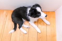 Смешной портрет милой smilling Коллиы границы собаки щенка дома Забота любимца и концепция животных стоковая фотография
