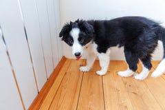 Смешной портрет милой smilling Коллиы границы собаки щенка дома Забота любимца и концепция животных стоковое изображение