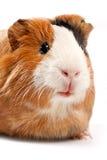 смешной портрет морской свинки Стоковые Изображения