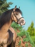 Смешной портрет пони welsh лосиной кожи Стоковые Фото
