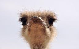 Смешной портрет страуса Стоковое Изображение