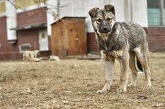Смешной рассеянный щенок шавки Стоковое Фото