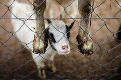 Смешной ребенк козы Стоковые Фотографии RF