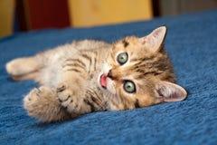 Смешной рыжеволосый великобританский лежать котенка уставший на голубой кровати с розовым языком стоковые изображения