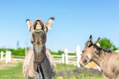 Смешной смеясь над осел Портрет милого животного поголовья показывая зубы в улыбке Пары серых ослов на выгоне на ферме юмористика Стоковые Изображения RF