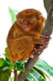 смешной смотреть tarsierее Стоковые Изображения