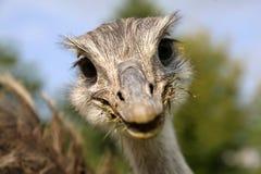 Смешной смотря общий rhea Стоковые Изображения